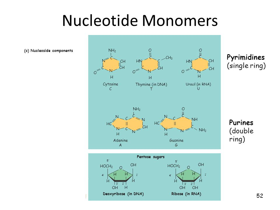 52 Nucleotide Monomers (c) Nucleoside components Figure 5.26 CH Uracil (in RNA) U Ribose (in RNA) Nitrogenous bases Pyrimidines C N N C O H NH 2 CH O C N H HN C O C CH 3 N HN C C H O O Cytosine C Thymine (in DNA) T N HC N C C N C CH N NH 2 O N HC N H H C C N NH C NH 2 Adenine A Guanine G O HOCH 2 H H H OH H O HOCH 2 H H H OH H Pentose sugars Deoxyribose (in DNA) Ribose (in RNA) OH CH Uracil (in RNA) U 4' 5 5 3' OH H 2' 1' 5 5 4' 3' 2' 1' Pyrimidines (single ring) Purines (double ring)