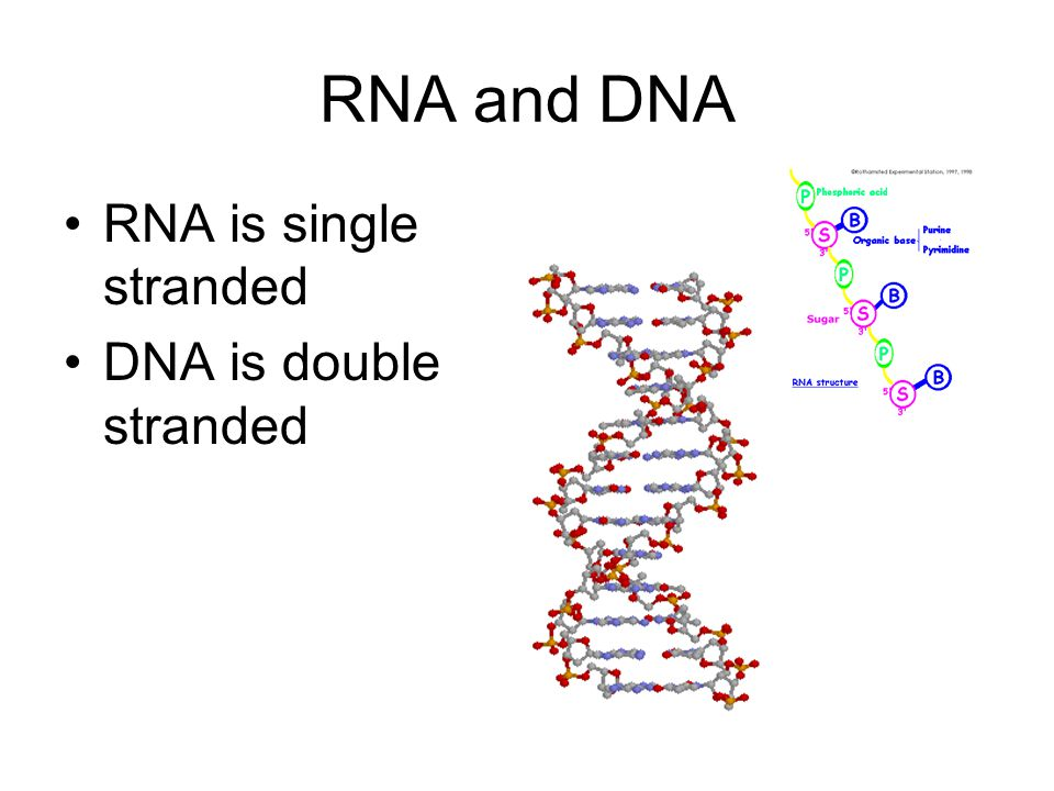 RNA and DNA RNA is single stranded DNA is double stranded