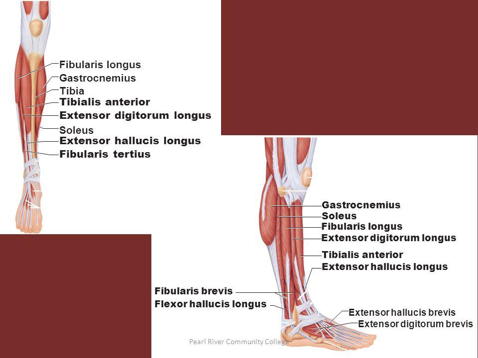Thigh  Wikipedia