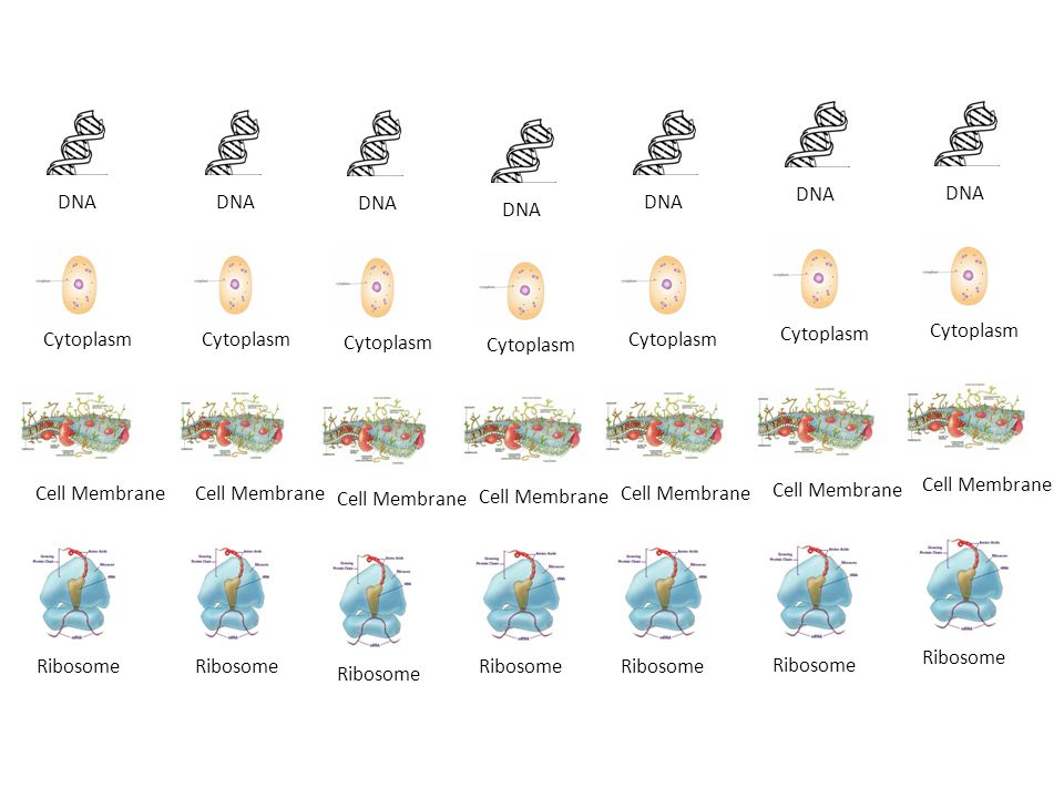 DNA Cytoplasm Cell Membrane Ribosome DNA Cytoplasm Cell Membrane Ribosome DNA Cytoplasm Cell Membrane Ribosome DNA Cytoplasm Cell Membrane Ribosome DNA Cytoplasm Cell Membrane Ribosome DNA Cytoplasm Cell Membrane Ribosome DNA Cytoplasm Cell Membrane Ribosome