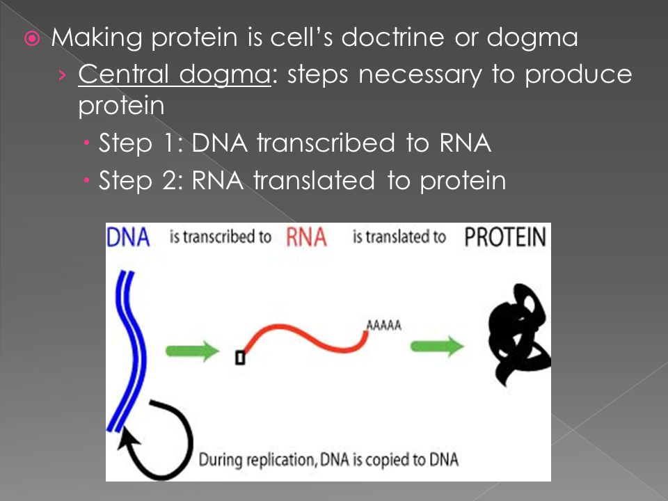 Dna as genetic blueprint of life dictates how to make every 3 making protein is cells doctrine or dogma central dogma steps necessary to produce protein step 1 dna transcribed to rna step 2 rna malvernweather Choice Image
