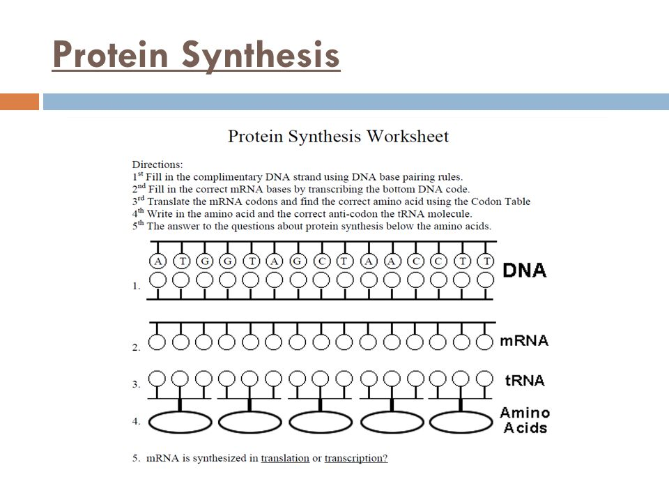 Unit 8 Molecular Genetics and Biotechnology Main Idea DNA codes – Protein Synthesis Worksheet Answers