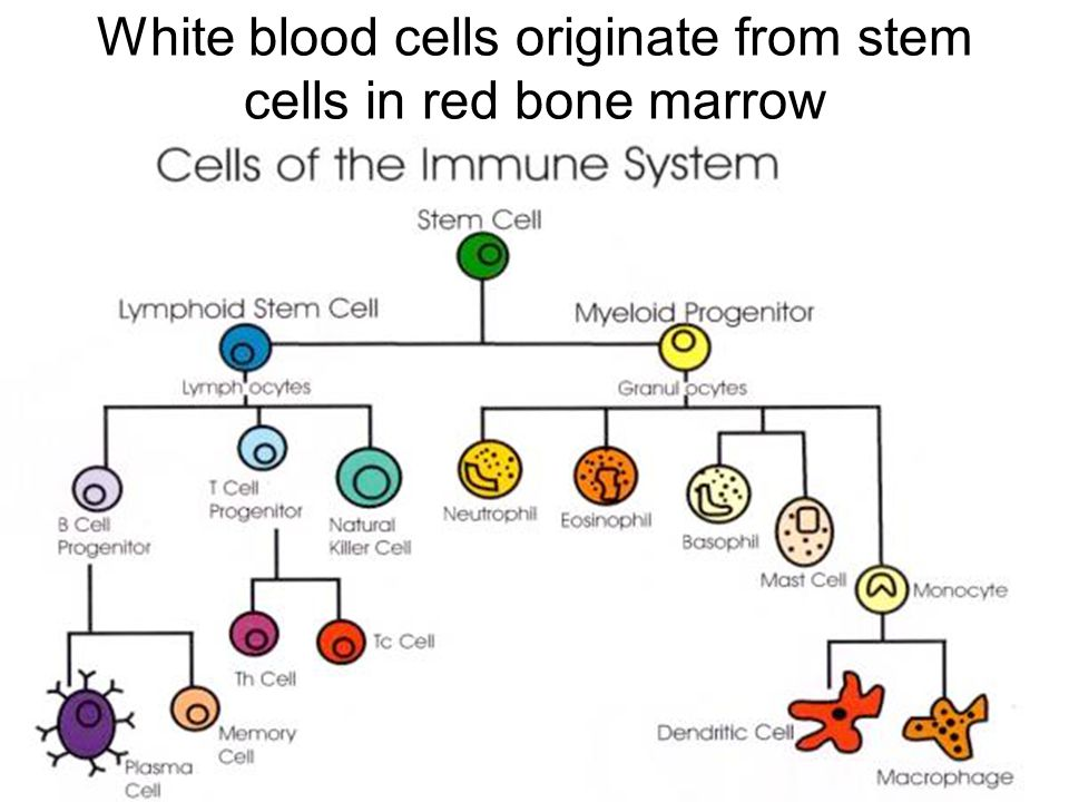 White blood cells originate from stem cells in red bone marrow