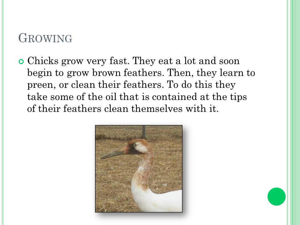 G ROWING Chicks grow very fast. They eat a lot and soon begin to grow brown feathers.