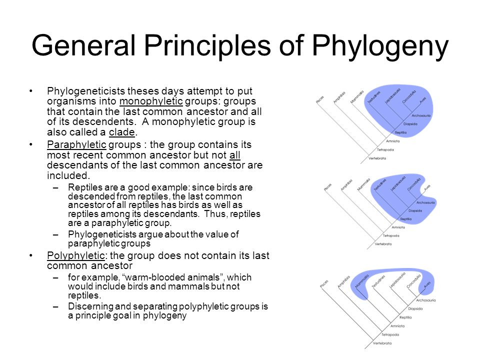General Principles of Phylogeny Phylogeneticists theses days attempt to put organisms into monophyletic groups: groups that contain the last common ancestor and all of its descendents.