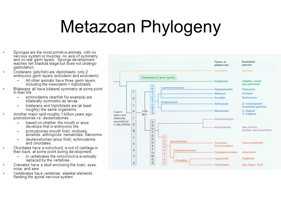 Metazoan Phylogeny Sponges are the most primitive animals, with no nervous system or muscles, no axis of symmetry, and no real germ layers.