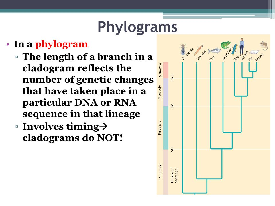 Phylograms In a phylogram ▫The length of a branch in a cladogram reflects the number of genetic changes that have taken place in a particular DNA or RNA sequence in that lineage ▫Involves timing  cladograms do NOT.