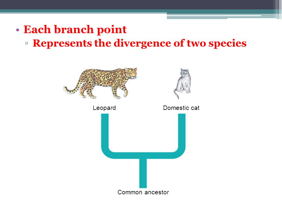Each branch point ▫Represents the divergence of two species Leopard Domestic cat Common ancestor