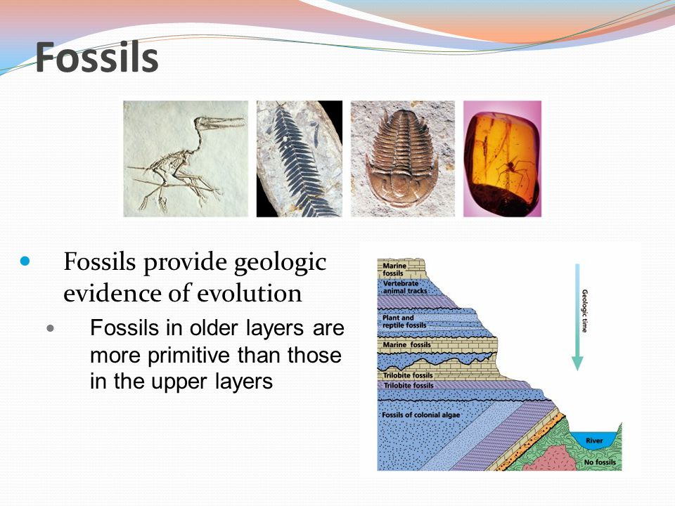 Fossils Fossils provide geologic evidence of evolution Fossils in older layers are more primitive than those in the upper layers