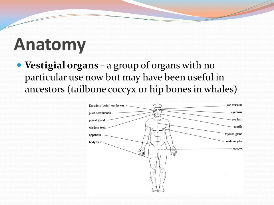 Anatomy Vestigial organs - a group of organs with no particular use now but may have been useful in ancestors (tailbone coccyx or hip bones in whales)