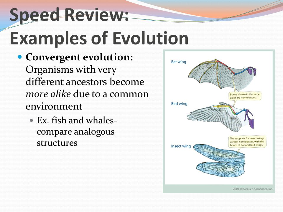 Convergent evolution: Organisms with very different ancestors become more alike due to a common environment Ex.