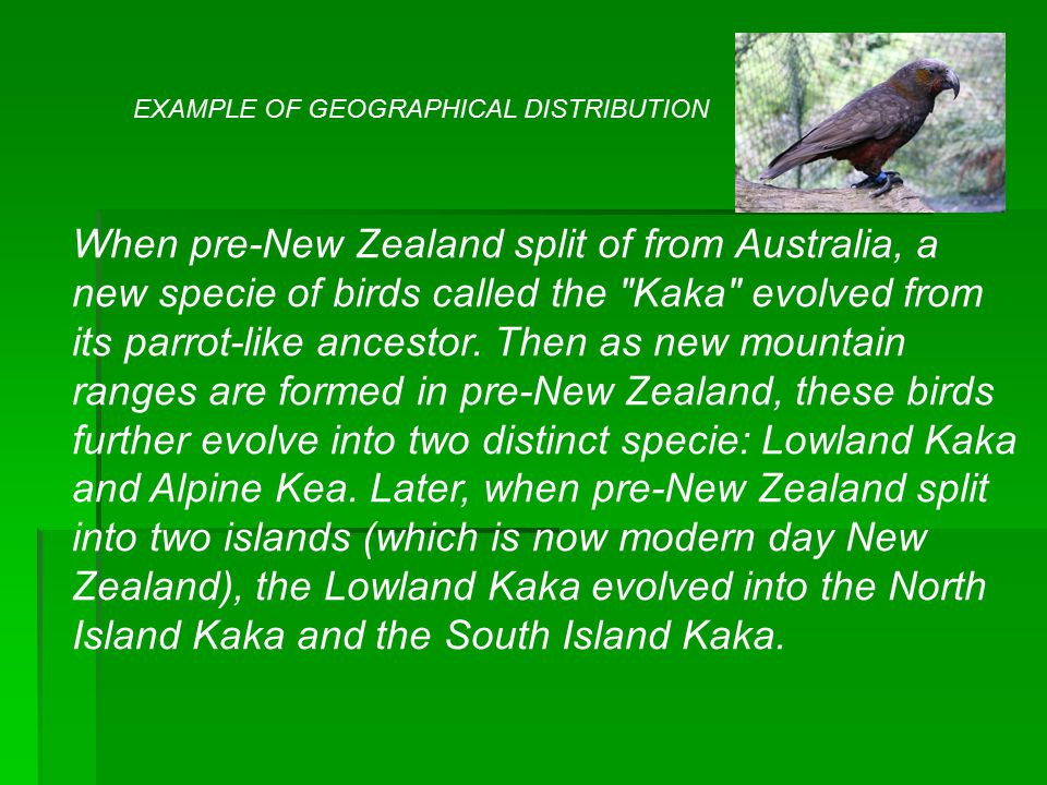 When pre-New Zealand split of from Australia, a new specie of birds called the Kaka evolved from its parrot-like ancestor.