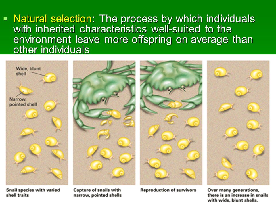  Natural selection: The process by which individuals with inherited characteristics well-suited to the environment leave more offspring on average than other individuals