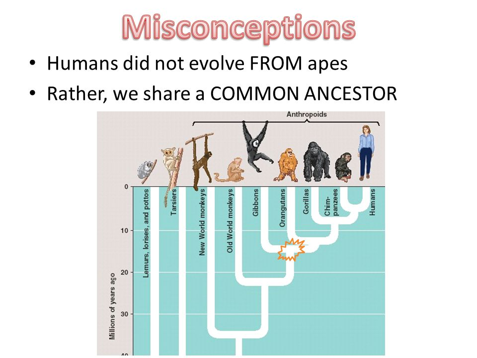 Humans did not evolve FROM apes Rather, we share a COMMON ANCESTOR