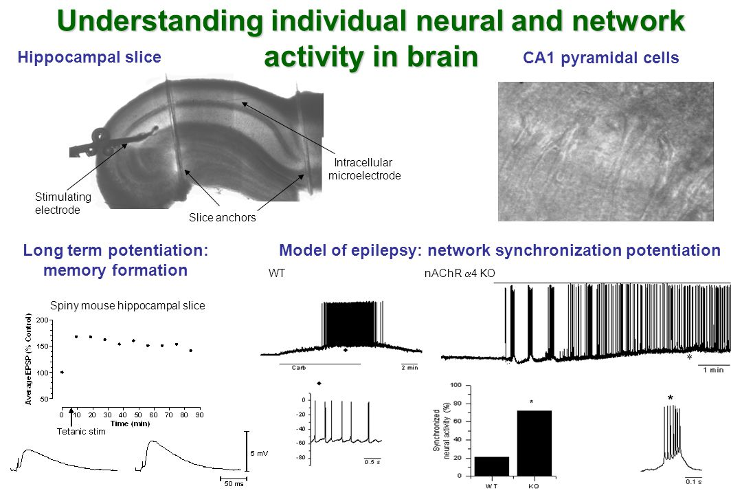 Hippocampal slice CA1 pyramidal cells Intracellular microelectrode Stimulating electrode Slice anchors WT nAChR  4 KO Long term potentiation: memory formation Model of epilepsy: network synchronization potentiation Spiny mouse hippocampal slice Understanding individual neural and network activity in brain 
