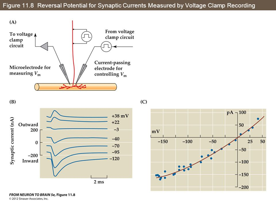 Figure 11.8 Reversal Potential for Synaptic Currents Measured by Voltage Clamp Recording