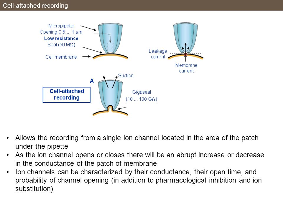 Cell-attached recording Allows the recording from a single ion channel located in the area of the patch under the pipette As the ion channel opens or closes there will be an abrupt increase or decrease in the conductance of the patch of membrane Ion channels can be characterized by their conductance, their open time, and probability of channel opening (in addition to pharmacological inhibition and ion substitution)