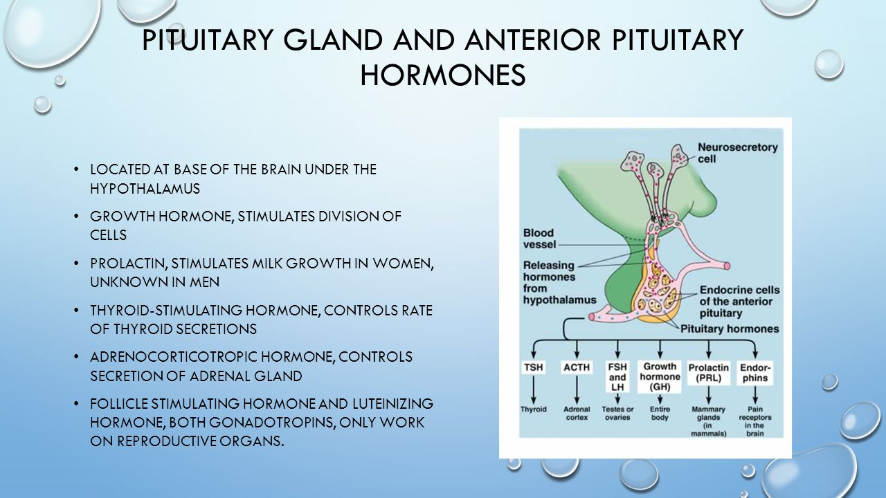 PITUITARY GLAND AND ANTERIOR PITUITARY HORMONES LOCATED AT BASE OF THE BRAIN UNDER THE HYPOTHALAMUS GROWTH HORMONE, STIMULATES DIVISION OF CELLS PROLACTIN, STIMULATES MILK GROWTH IN WOMEN, UNKNOWN IN MEN THYROID-STIMULATING HORMONE, CONTROLS RATE OF THYROID SECRETIONS ADRENOCORTICOTROPIC HORMONE, CONTROLS SECRETION OF ADRENAL GLAND FOLLICLE STIMULATING HORMONE AND LUTEINIZING HORMONE, BOTH GONADOTROPINS, ONLY WORK ON REPRODUCTIVE ORGANS.