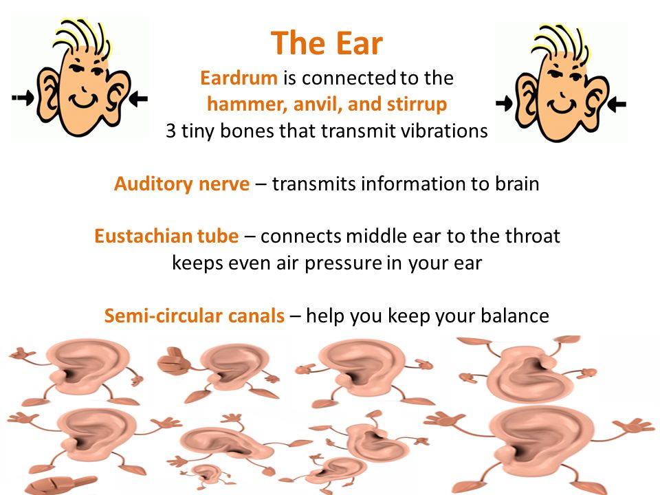 The Ear Eardrum is connected to the hammer, anvil, and stirrup 3 tiny bones that transmit vibrations Auditory nerve – transmits information to brain Eustachian tube – connects middle ear to the throat keeps even air pressure in your ear Semi-circular canals – help you keep your balance