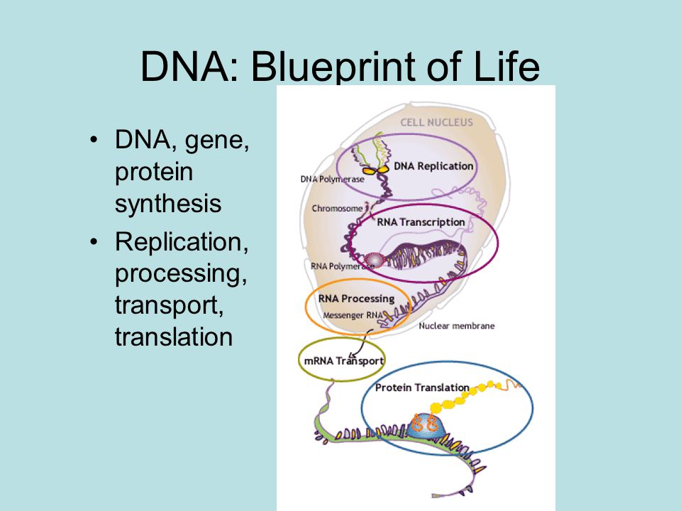 Carbon nanotube and dnarna experiments and md simulation ppt 2 dna blueprint of life dna gene protein synthesis replication processing transport translation malvernweather Images