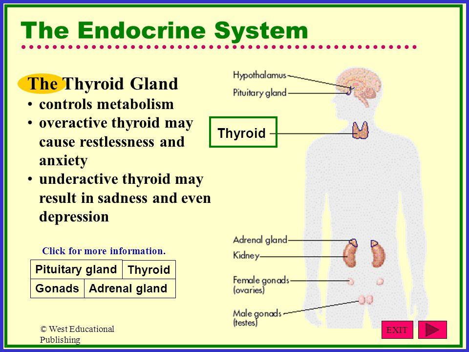 © West Educational Publishing The Endocrine System The Thyroid Gland controls metabolism overactive thyroid may cause restlessness and anxiety underactive thyroid may result in sadness and even depression Thyroid Pituitary gland Gonads Thyroid Adrenal gland Click for more information.