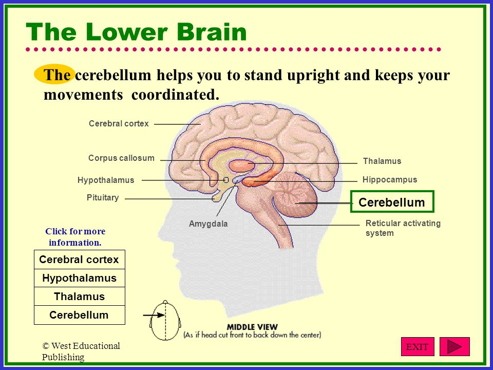 © West Educational Publishing The Lower Brain The cerebellum helps you to stand upright and keeps your movements coordinated.