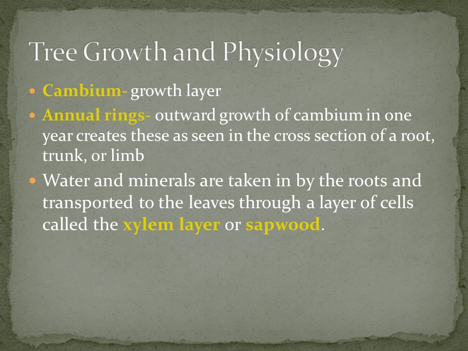 Cambium- growth layer Annual rings- outward growth of cambium in one year creates these as seen in the cross section of a root, trunk, or limb Water and minerals are taken in by the roots and transported to the leaves through a layer of cells called the xylem layer or sapwood.