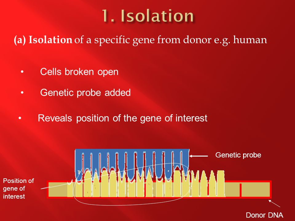Donor DNA Genetic probe (a) Isolation of a specific gene from donor e.g.