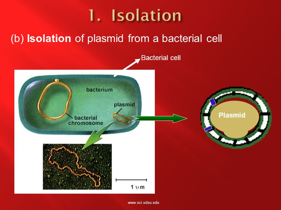 Bacterial cell Plasmid (b) Isolation of plasmid from a bacterial cell