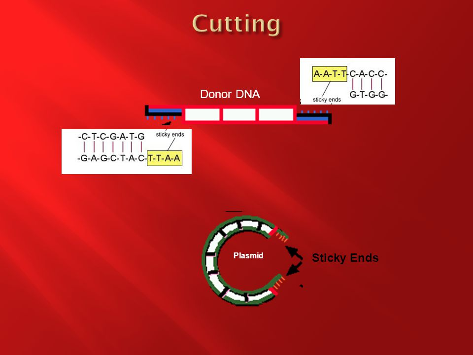 Donor DNA Sticky Ends Plasmid