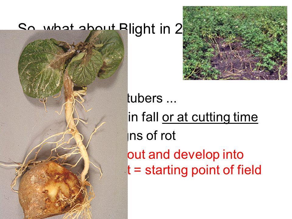 So, what about Blight in Pathogen Diseased seed - Lightly infected tubers...