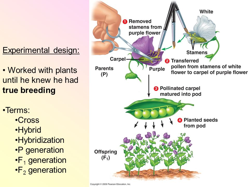 Experimental design: Worked with plants until he knew he had true breeding Terms: Cross Hybrid Hybridization P generation F 1 generation F 2 generation