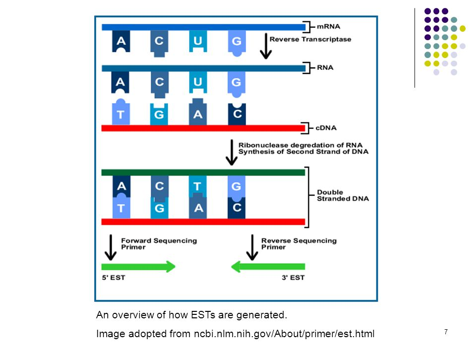 7 An overview of how ESTs are generated. Image adopted from ncbi.nlm.nih.gov/About/primer/est.html
