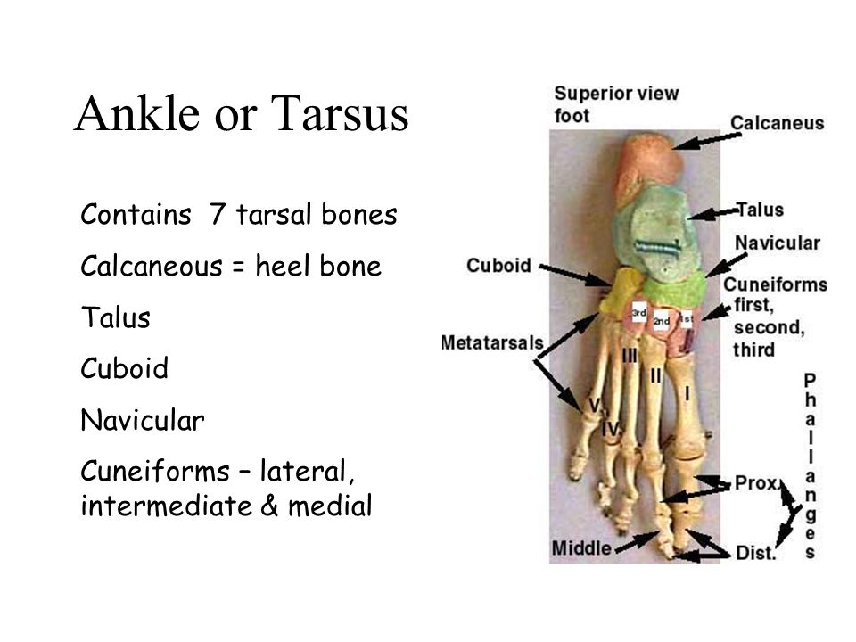 Ankle or Tarsus Contains 7 tarsal bones Calcaneous = heel bone Talus Cuboid Navicular Cuneiforms – lateral, intermediate & medial