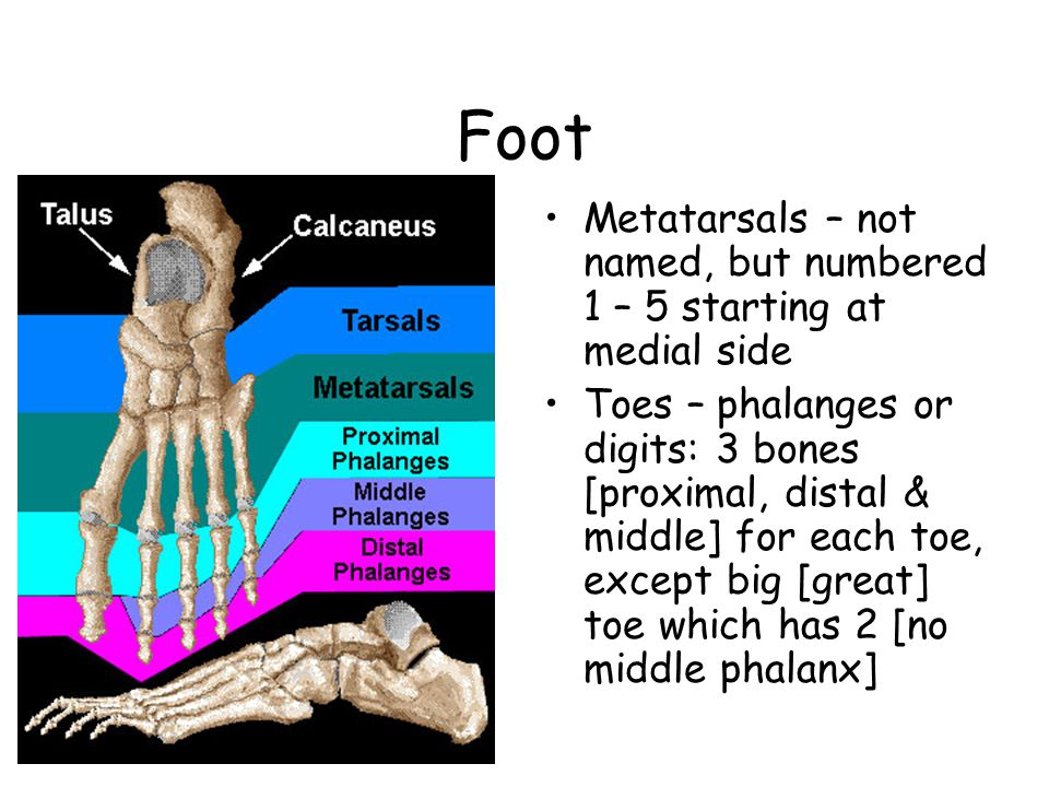 Foot Metatarsals – not named, but numbered 1 – 5 starting at medial side Toes – phalanges or digits: 3 bones [proximal, distal & middle] for each toe, except big [great] toe which has 2 [no middle phalanx]