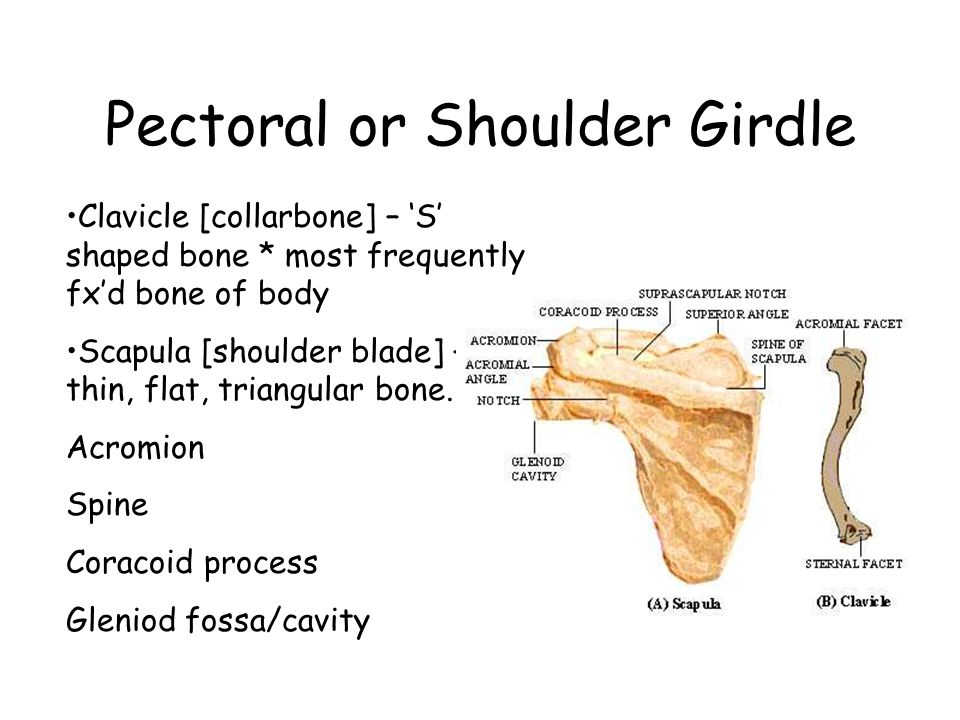 Pectoral or Shoulder Girdle Clavicle [collarbone] – 'S' shaped bone * most frequently fx'd bone of body Scapula [shoulder blade] – thin, flat, triangular bone.