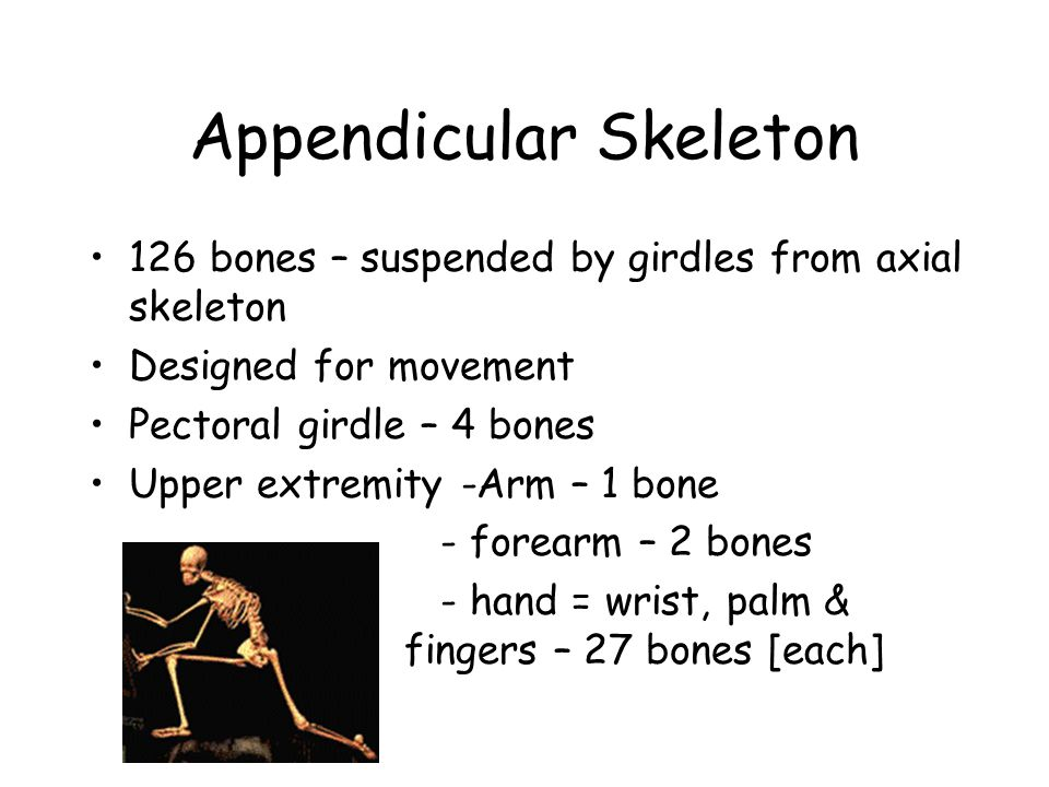 126 bones – suspended by girdles from axial skeleton Designed for movement Pectoral girdle – 4 bones Upper extremity -Arm – 1 bone - forearm – 2 bones - hand = wrist, palm & fingers – 27 bones [each]
