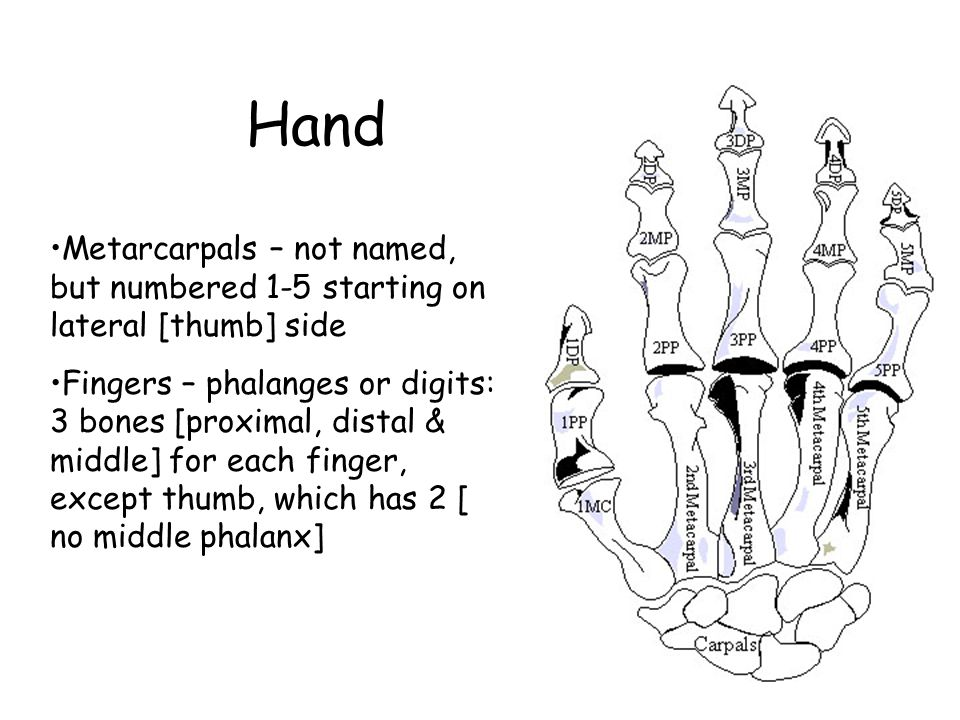 Hand Metarcarpals – not named, but numbered 1-5 starting on lateral [thumb] side Fingers – phalanges or digits: 3 bones [proximal, distal & middle] for each finger, except thumb, which has 2 [ no middle phalanx]