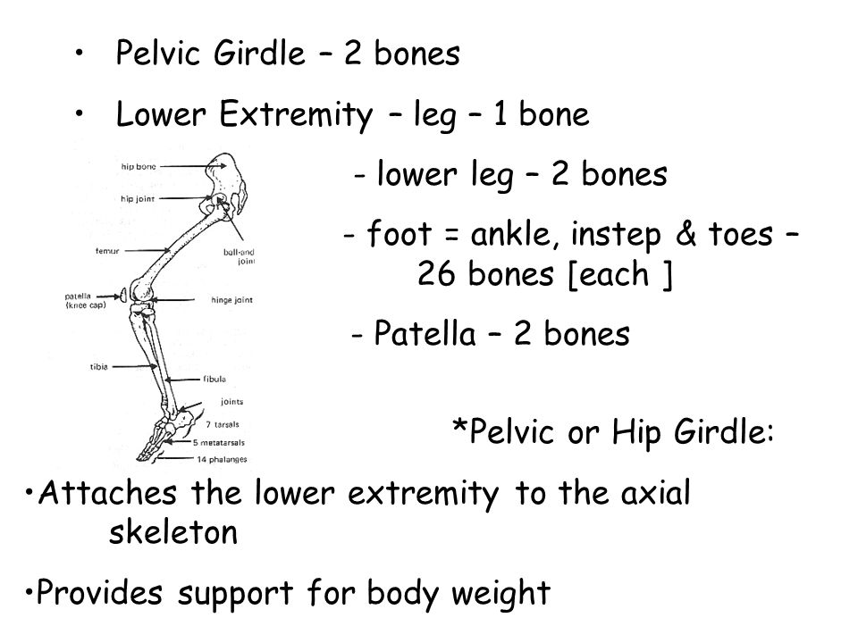 Pelvic Girdle – 2 bones Lower Extremity – leg – 1 bone - lower leg – 2 bones - foot = ankle, instep & toes – 26 bones [each ] - Patella – 2 bones *Pelvic or Hip Girdle: Attaches the lower extremity to the axial skeleton Provides support for body weight