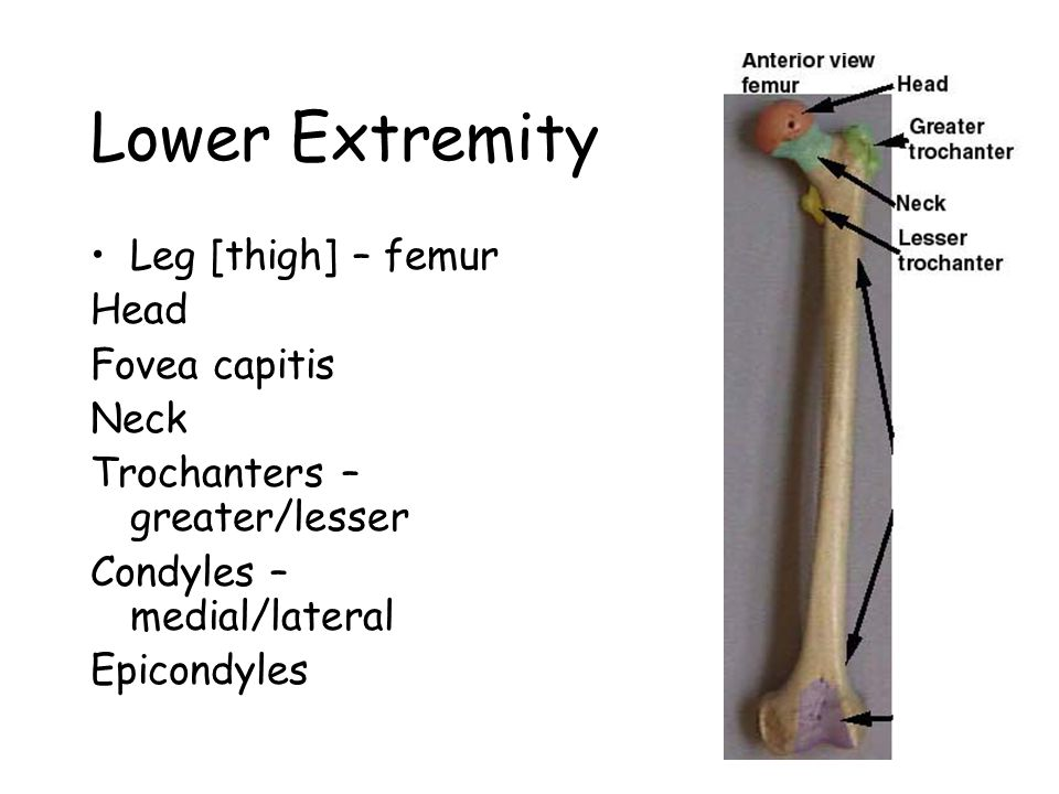Lower Extremity Leg [thigh] – femur Head Fovea capitis Neck Trochanters – greater/lesser Condyles – medial/lateral Epicondyles