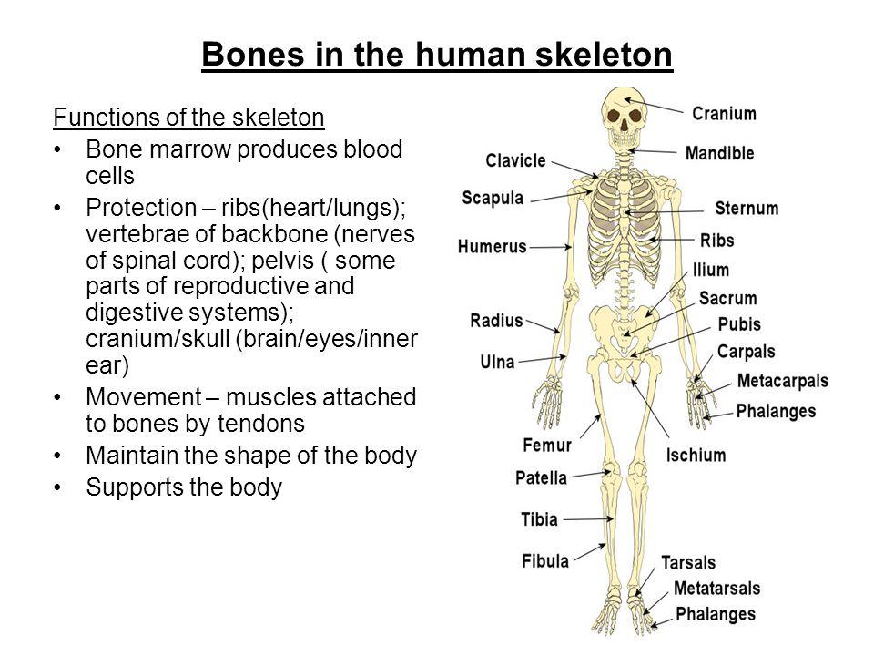 bones in the human skeleton functions of the skeleton bone marrow, Skeleton