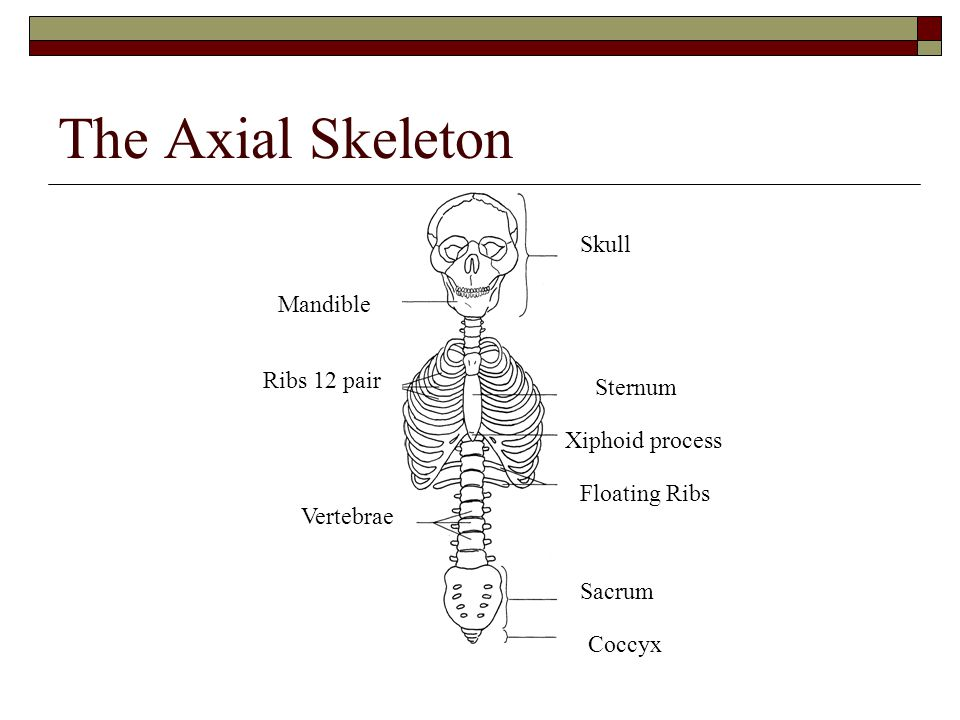 human skeleton introduction. human skeleton  the human skeleton, Skeleton