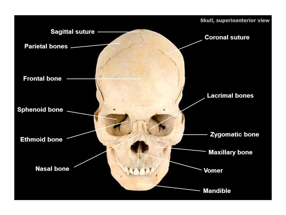Lacrimal Bone - photogram