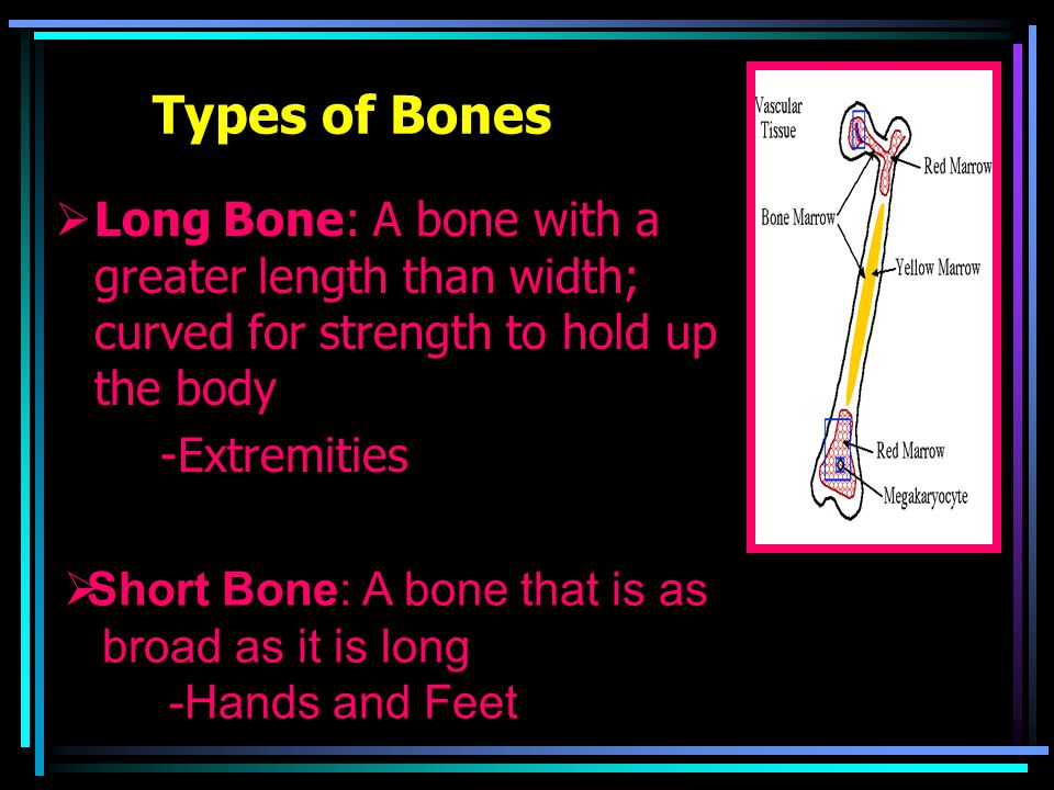 Types of Bones  Long Bone: A bone with a greater length than width; curved for strength to hold up the body -Extremities  Short Bone: A bone that is as broad as it is long -Hands and Feet