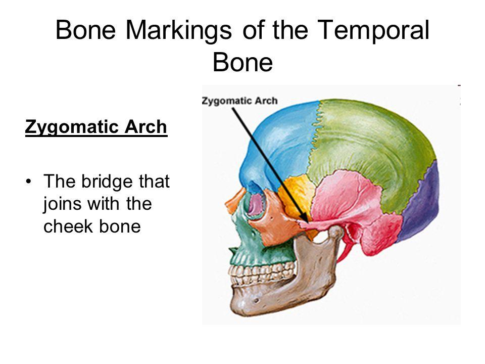 zygomatic arch, Human body