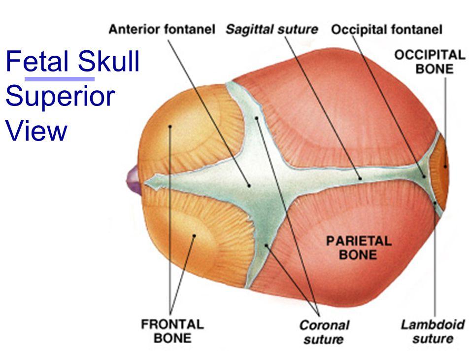 Fetal Skull Superior View 40942 | TIMEHD