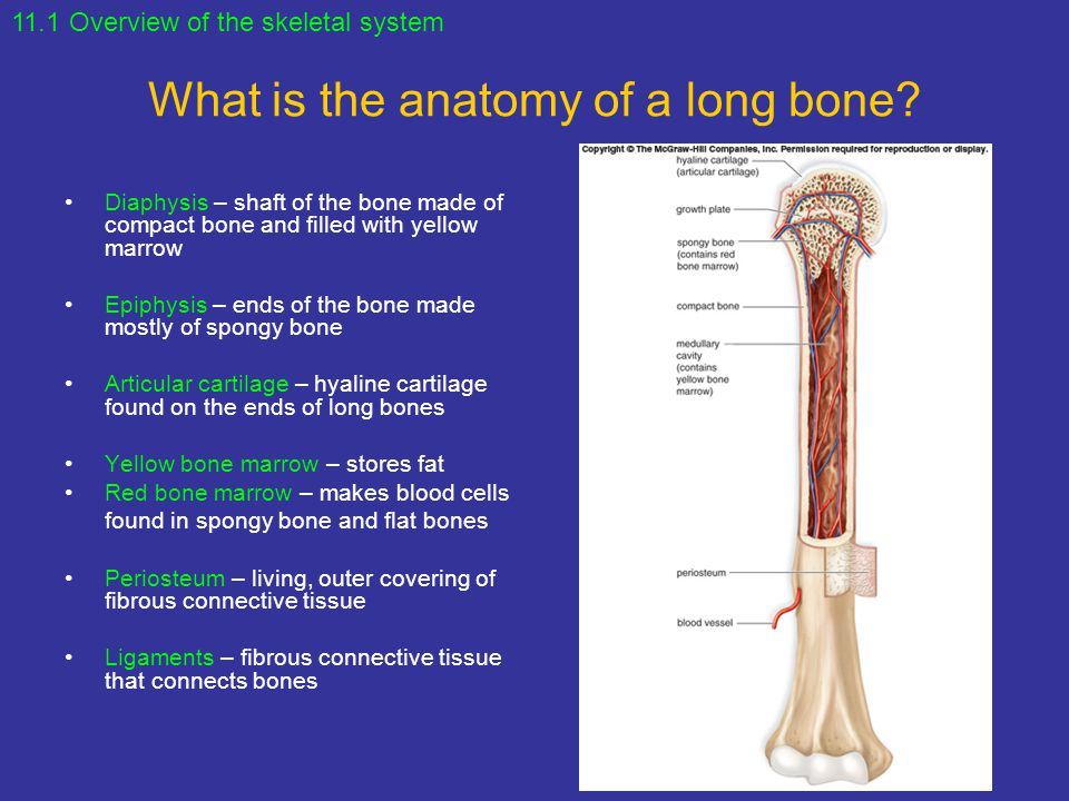 chapter 5 the skeletal system Chapter 5 - the skeletal system i bones: an overview - skeleton includes bone and articulations (joints) each has bone tissue, cartilage, fibrous tissue in tendons and ligaments, and others.