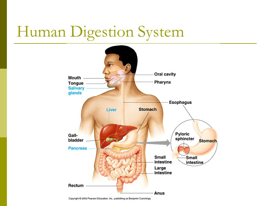 digestive system parts I digestive tract a 2 herbivores 3 omnivores b because of the diversity of diet, various parts of the digestive system developed in different ways.