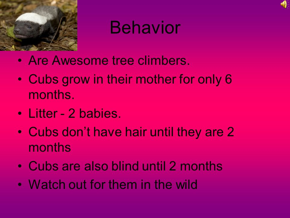Behavior Are Awesome tree climbers. Cubs grow in their mother for only 6 months.
