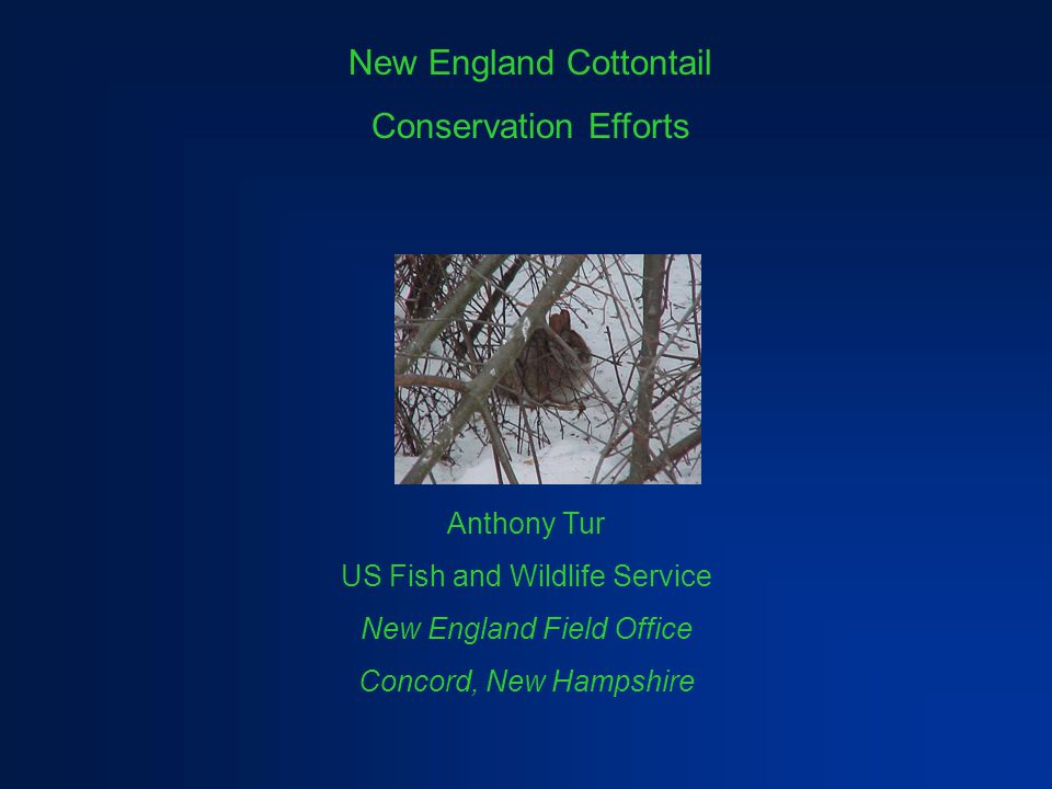 New England Cottontail Conservation Efforts Anthony Tur US Fish and Wildlife Service New England Field Office Concord, New Hampshire